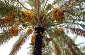Palm Tree3